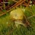 Šviesialūpė dryžė - Cepaea hortensis | Fotografijos autorius : Romas Ferenca | © Macrogamta.lt | Šis tinklapis priklauso bendruomenei kuri domisi makro fotografija ir fotografuoja gyvąjį makro pasaulį.