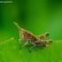 Chorthippus sp. - Skėriukas | Fotografijos autorius : Romas Ferenca | © Macrogamta.lt | Šis tinklapis priklauso bendruomenei kuri domisi makro fotografija ir fotografuoja gyvąjį makro pasaulį.