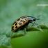 Chrysomela vigintipunctata - Taškuotasis gluosninukas   Fotografijos autorius : Romas Ferenca   © Macrogamta.lt   Šis tinklapis priklauso bendruomenei kuri domisi makro fotografija ir fotografuoja gyvąjį makro pasaulį.