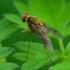 Slankmusė - Chrysopilus luteolus | Fotografijos autorius : Romas Ferenca | © Macrogamta.lt | Šis tinklapis priklauso bendruomenei kuri domisi makro fotografija ir fotografuoja gyvąjį makro pasaulį.