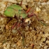 Cicindela campestris - Žaliasis šoklys | Fotografijos autorius : Romas Ferenca | © Macrogamta.lt | Šis tinklapis priklauso bendruomenei kuri domisi makro fotografija ir fotografuoja gyvąjį makro pasaulį.