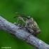 Curculio glandium - Gilinis vaisiastraublis | Fotografijos autorius : Romas Ferenca | © Macrogamta.lt | Šis tinklapis priklauso bendruomenei kuri domisi makro fotografija ir fotografuoja gyvąjį makro pasaulį.