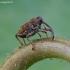 Alksninis vaisiastraublis - Curculio betulae | Fotografijos autorius : Romas Ferenca | © Macrogamta.lt | Šis tinklapis priklauso bendruomenei kuri domisi makro fotografija ir fotografuoja gyvąjį makro pasaulį.