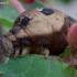 Pievinis sfinksas - Deilephila elpenor   Fotografijos autorius : Romas Ferenca   © Macrogamta.lt   Šis tinklapis priklauso bendruomenei kuri domisi makro fotografija ir fotografuoja gyvąjį makro pasaulį.