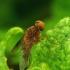 Chrysopilus luteolus - Slankmusė | Fotografijos autorius : Romas Ferenca | © Macrogamta.lt | Šis tinklapis priklauso bendruomenei kuri domisi makro fotografija ir fotografuoja gyvąjį makro pasaulį.