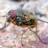 Phaonia angelicae / valida - Tikramusė | Fotografijos autorius : Romas Ferenca | © Macrogamta.lt | Šis tinklapis priklauso bendruomenei kuri domisi makro fotografija ir fotografuoja gyvąjį makro pasaulį.