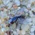 Mėsmusė - Taxigramma elegantula   Fotografijos autorius : Romas Ferenca   © Macrogamta.lt   Šis tinklapis priklauso bendruomenei kuri domisi makro fotografija ir fotografuoja gyvąjį makro pasaulį.