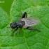 Musė - Sphaerocera curvipes | Fotografijos autorius : Romas Ferenca | © Macrogamta.lt | Šis tinklapis priklauso bendruomenei kuri domisi makro fotografija ir fotografuoja gyvąjį makro pasaulį.