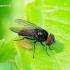 Fanniidae - Išvietininkė | Fotografijos autorius : Romas Ferenca | © Macrogamta.lt | Šis tinklapis priklauso bendruomenei kuri domisi makro fotografija ir fotografuoja gyvąjį makro pasaulį.