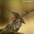 Dolycoris baccarum - Uoginė skydblakė   Fotografijos autorius : Romas Ferenca   © Macrogamta.lt   Šis tinklapis priklauso bendruomenei kuri domisi makro fotografija ir fotografuoja gyvąjį makro pasaulį.