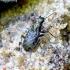 Elaphrus cupreus - Mėlynpadis akiuotžygis | Fotografijos autorius : Romas Ferenca | © Macrogamta.lt | Šis tinklapis priklauso bendruomenei kuri domisi makro fotografija ir fotografuoja gyvąjį makro pasaulį.