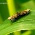 Errastunus ocellaris - Cikadėlė | Fotografijos autorius : Romas Ferenca | © Macrogamta.lt | Šis tinklapis priklauso bendruomenei kuri domisi makro fotografija ir fotografuoja gyvąjį makro pasaulį.