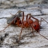 Raudongalvė skruzdėlė - Formica truncorum | Fotografijos autorius : Romas Ferenca | © Macrogamta.lt | Šis tinklapis priklauso bendruomenei kuri domisi makro fotografija ir fotografuoja gyvąjį makro pasaulį.