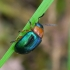 Tikrasis rūgtinukas - Gastrophysa polygoni | Fotografijos autorius : Romas Ferenca | © Macrogamta.lt | Šis tinklapis priklauso bendruomenei kuri domisi makro fotografija ir fotografuoja gyvąjį makro pasaulį.