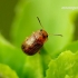 Gonioctena quinquepunctata - Penkiataškis dygblauzdis | Fotografijos autorius : Romas Ferenca | © Macrogamta.lt | Šis tinklapis priklauso bendruomenei kuri domisi makro fotografija ir fotografuoja gyvąjį makro pasaulį.