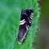 Grapholita pallifrontana - Kulkšninis vaisėdis   Fotografijos autorius : Romas Ferenca   © Macrogamta.lt   Šis tinklapis priklauso bendruomenei kuri domisi makro fotografija ir fotografuoja gyvąjį makro pasaulį.