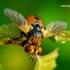 Gymnosoma clavatum - Dygliamusė | Fotografijos autorius : Romas Ferenca | © Macrogamta.lt | Šis tinklapis priklauso bendruomenei kuri domisi makro fotografija ir fotografuoja gyvąjį makro pasaulį.