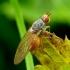 Tephrochlamys flavipes - Musė | Fotografijos autorius : Romas Ferenca | © Macrogamta.lt | Šis tinklapis priklauso bendruomenei kuri domisi makro fotografija ir fotografuoja gyvąjį makro pasaulį.