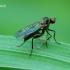 Hybos sp. - Musė | Fotografijos autorius : Romas Ferenca | © Macrogamta.lt | Šis tinklapis priklauso bendruomenei kuri domisi makro fotografija ir fotografuoja gyvąjį makro pasaulį.