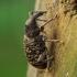 Didysis eglinis straubliukas - Hylobius piceus | Fotografijos autorius : Romas Ferenca | © Macrogamta.lt | Šis tinklapis priklauso bendruomenei kuri domisi makro fotografija ir fotografuoja gyvąjį makro pasaulį.