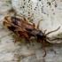 Ąžuolinis niūravabalis - Hypulus quercinus | Fotografijos autorius : Romas Ferenca | © Macrogamta.lt | Šis tinklapis priklauso bendruomenei kuri domisi makro fotografija ir fotografuoja gyvąjį makro pasaulį.