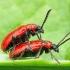 Lilioceris lilii - Lelijinis čiuželis | Fotografijos autorius : Romas Ferenca | © Macrogamta.lt | Šis tinklapis priklauso bendruomenei kuri domisi makro fotografija ir fotografuoja gyvąjį makro pasaulį.
