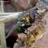 Žalioji lavonmusė - Lucilia caesar | Fotografijos autorius : Romas Ferenca | © Macrogamta.lt | Šis tinklapis priklauso bendruomenei kuri domisi makro fotografija ir fotografuoja gyvąjį makro pasaulį.