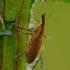 Lixus bardanae - Rugštyninis stiebastraublis | Fotografijos autorius : Romas Ferenca | © Macrogamta.lt | Šis tinklapis priklauso bendruomenei kuri domisi makro fotografija ir fotografuoja gyvąjį makro pasaulį.