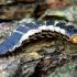 Žiedvabalis - Lygistopterus sanguineus, lerva | Fotografijos autorius : Romas Ferenca | © Macrogamta.lt | Šis tinklapis priklauso bendruomenei kuri domisi makro fotografija ir fotografuoja gyvąjį makro pasaulį.