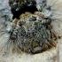 Vienuolis verpikas - Lymantria monacha, vikšras | Fotografijos autorius : Romas Ferenca | © Macrogamta.lt | Šis tinklapis priklauso bendruomenei kuri domisi makro fotografija ir fotografuoja gyvąjį makro pasaulį.