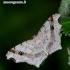 Macaria alternata - Pilkasis miškasprinis | Fotografijos autorius : Romas Ferenca | © Macrogamta.lt | Šis tinklapis priklauso bendruomenei kuri domisi makro fotografija ir fotografuoja gyvąjį makro pasaulį.
