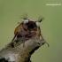 Melolontha melolontha - Paprastasis grambuolys | Fotografijos autorius : Romas Ferenca | © Macrogamta.lt | Šis tinklapis priklauso bendruomenei kuri domisi makro fotografija ir fotografuoja gyvąjį makro pasaulį.