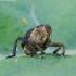 Vilkdalginis straubliukas - Mononychus punctumalbum | Fotografijos autorius : Romas Ferenca | © Macrogamta.lt | Šis tinklapis priklauso bendruomenei kuri domisi makro fotografija ir fotografuoja gyvąjį makro pasaulį.