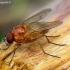 Thricops diaphanus - Tikramusė | Fotografijos autorius : Romas Ferenca | © Macrogamta.lt | Šis tinklapis priklauso bendruomenei kuri domisi makro fotografija ir fotografuoja gyvąjį makro pasaulį.
