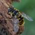 Žiedmusė - Myathropa florea | Fotografijos autorius : Romas Ferenca | © Macrogamta.lt | Šis tinklapis priklauso bendruomenei kuri domisi makro fotografija ir fotografuoja gyvąjį makro pasaulį.