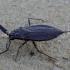 Pilkoji skorpionblakė - Nepa cinerea | Fotografijos autorius : Romas Ferenca | © Macrogamta.lt | Šis tinklapis priklauso bendruomenei kuri domisi makro fotografija ir fotografuoja gyvąjį makro pasaulį.