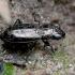 Pelkinis žvilgžygis - Notiophilus palustris | Fotografijos autorius : Romas Ferenca | © Macrogamta.lt | Šis tinklapis priklauso bendruomenei kuri domisi makro fotografija ir fotografuoja gyvąjį makro pasaulį.