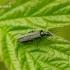 Oedemera virescens - Laibavabalis   Fotografijos autorius : Romas Ferenca   © Macrogamta.lt   Šis tinklapis priklauso bendruomenei kuri domisi makro fotografija ir fotografuoja gyvąjį makro pasaulį.