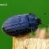 Peltis grossa - Didysis skydvabalis | Fotografijos autorius : Romas Ferenca | © Macrogamta.lt | Šis tinklapis priklauso bendruomenei kuri domisi makro fotografija ir fotografuoja gyvąjį makro pasaulį.