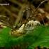 Phalangium opilio - Paprastasis šienpjovys | Fotografijos autorius : Romas Ferenca | © Macrogamta.lt | Šis tinklapis priklauso bendruomenei kuri domisi makro fotografija ir fotografuoja gyvąjį makro pasaulį.