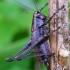 Keršasis žiogas - Pholidoptera griseoaptera   Fotografijos autorius : Romas Ferenca   © Macrogamta.lt   Šis tinklapis priklauso bendruomenei kuri domisi makro fotografija ir fotografuoja gyvąjį makro pasaulį.