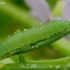 Griežtinis baltukas - Pieris napi, vikšras | Fotografijos autorius : Romas Ferenca | © Macrogamta.lt | Šis tinklapis priklauso bendruomenei kuri domisi makro fotografija ir fotografuoja gyvąjį makro pasaulį.