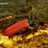 Platycis minutus - Žiedvabalis | Fotografijos autorius : Romas Ferenca | © Macrogamta.lt | Šis tinklapis priklauso bendruomenei kuri domisi makro fotografija ir fotografuoja gyvąjį makro pasaulį.