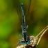 Platycnemis pennipes - Baltakojė strėliukė | Fotografijos autorius : Romas Ferenca | © Macrogamta.lt | Šis tinklapis priklauso bendruomenei kuri domisi makro fotografija ir fotografuoja gyvąjį makro pasaulį.