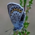 Žaliaakis melsvys - Plebejus idas  | Fotografijos autorius : Romas Ferenca | © Macrogamta.lt | Šis tinklapis priklauso bendruomenei kuri domisi makro fotografija ir fotografuoja gyvąjį makro pasaulį.