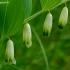 Vaistinė baltašaknė - Polygonatum odoratum | Fotografijos autorius : Romas Ferenca | © Macrogamta.lt | Šis tinklapis priklauso bendruomenei kuri domisi makro fotografija ir fotografuoja gyvąjį makro pasaulį.