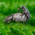 Polydrusus tereticollis [=undatus] - Lapinukas | Fotografijos autorius : Romas Ferenca | © Macrogamta.lt | Šis tinklapis priklauso bendruomenei kuri domisi makro fotografija ir fotografuoja gyvąjį makro pasaulį.