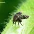 Psychodidae - Kandinis uodelis | Fotografijos autorius : Romas Ferenca | © Macrogamta.lt | Šis tinklapis priklauso bendruomenei kuri domisi makro fotografija ir fotografuoja gyvąjį makro pasaulį.