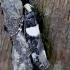 Baltamargė rekurvarija - Recurvaria leucatella | Fotografijos autorius : Romas Ferenca | © Macrogamta.lt | Šis tinklapis priklauso bendruomenei kuri domisi makro fotografija ir fotografuoja gyvąjį makro pasaulį.