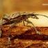 Rhagium inquisitor - Briaunotasis ragijus | Fotografijos autorius : Romas Ferenca | © Macrogamta.lt | Šis tinklapis priklauso bendruomenei kuri domisi makro fotografija ir fotografuoja gyvąjį makro pasaulį.
